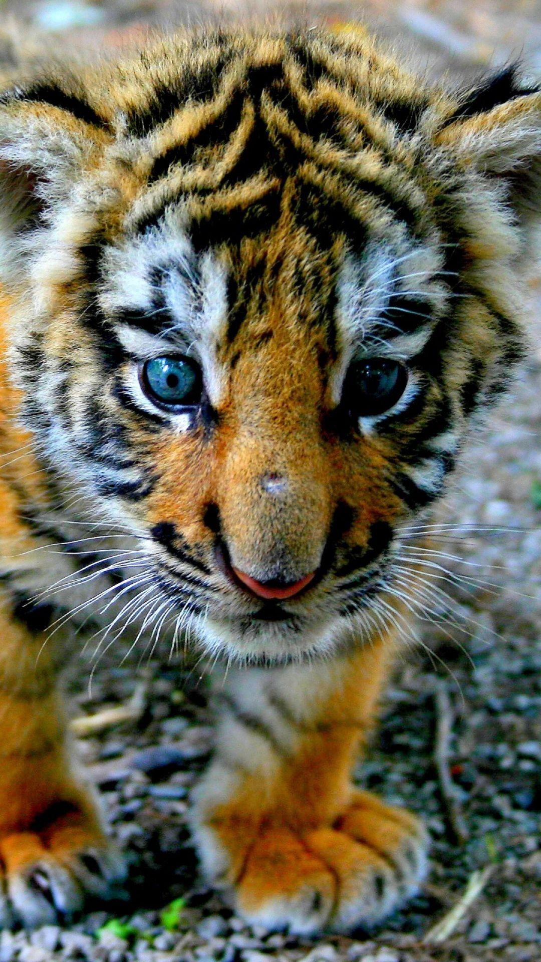 tiger, cub, look, kid