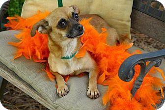 Matthews Nc Chihuahua Mix Meet Camilla A Dog For Adoption Http Www Adoptapet Com Pet 12055867 Matthews North Dog Adoption Kitten Adoption Chihuahua Mix