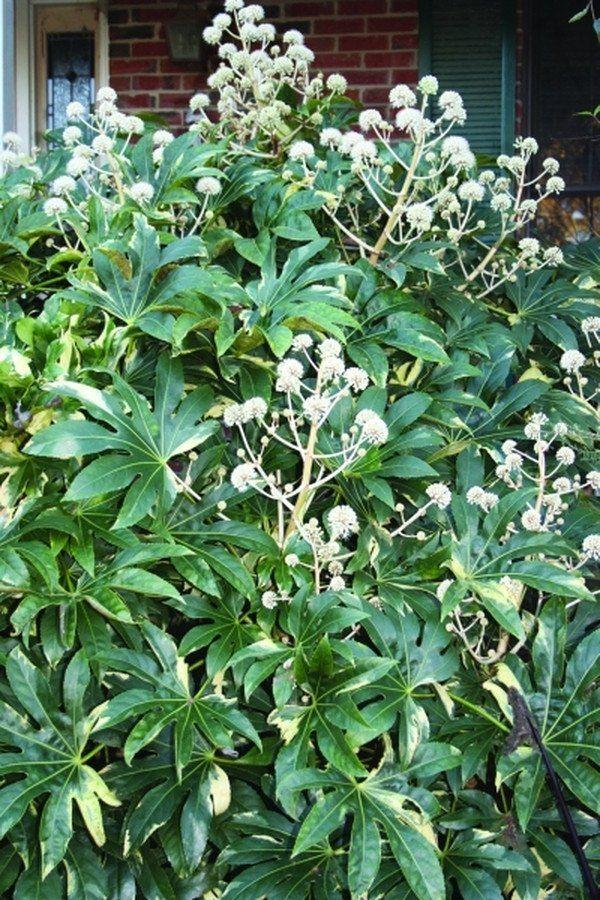 Fatsia japonica u0027Variegatau0027 Plantas Pinterest Plantas