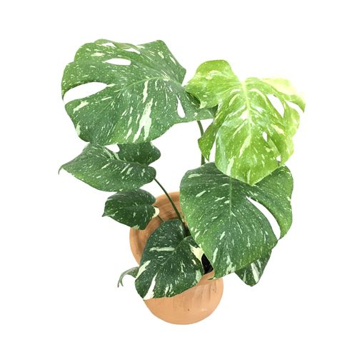 Pin by 𝔐𝔬𝔦𝔯𝔞 𝔓𝔦𝔢𝔯𝔠𝔢 on garden witch Dogs Adn Monstera Deliciosa House Plant on