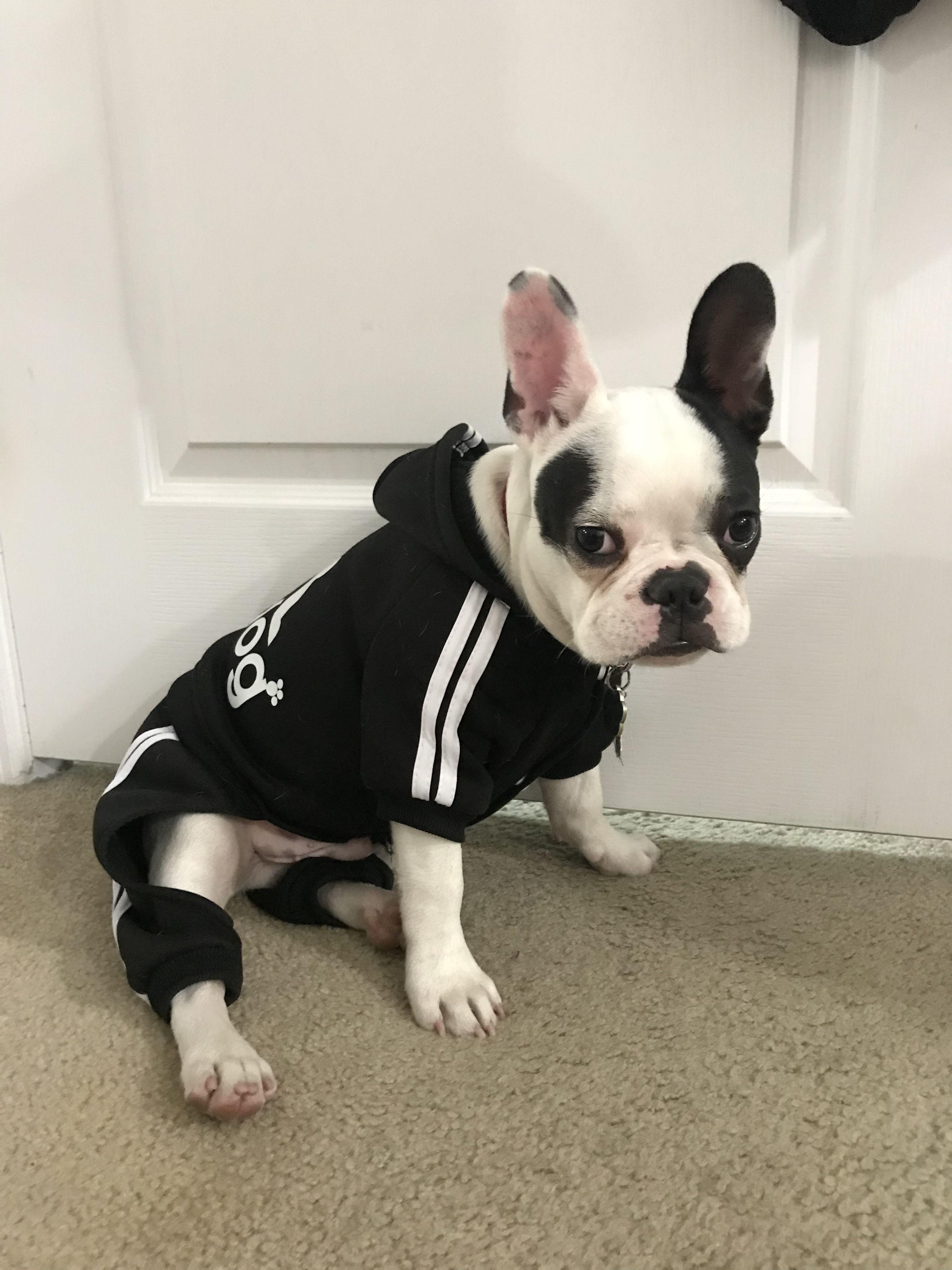 Swag Puppy Adidog Frenchie Miami Frenchie Puppies Boston Terrier