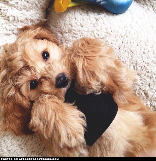 cockapoo puppy Tumblr Dogs Pinterest Cockapoo