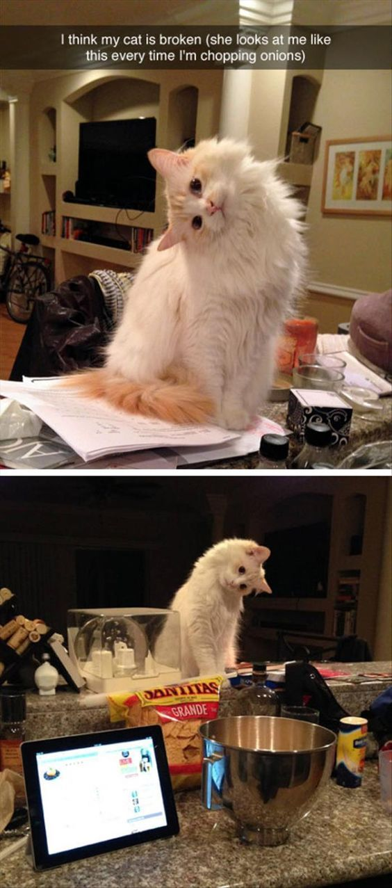 Top 40 Funny Cat Memes Funny cats Funny animal