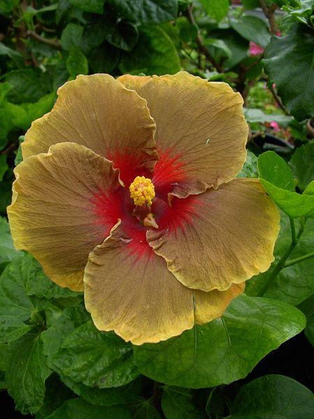 Indian Hibiscus Dark Cosmos Rare Flowers Strange Flowers Hibiscus Bush