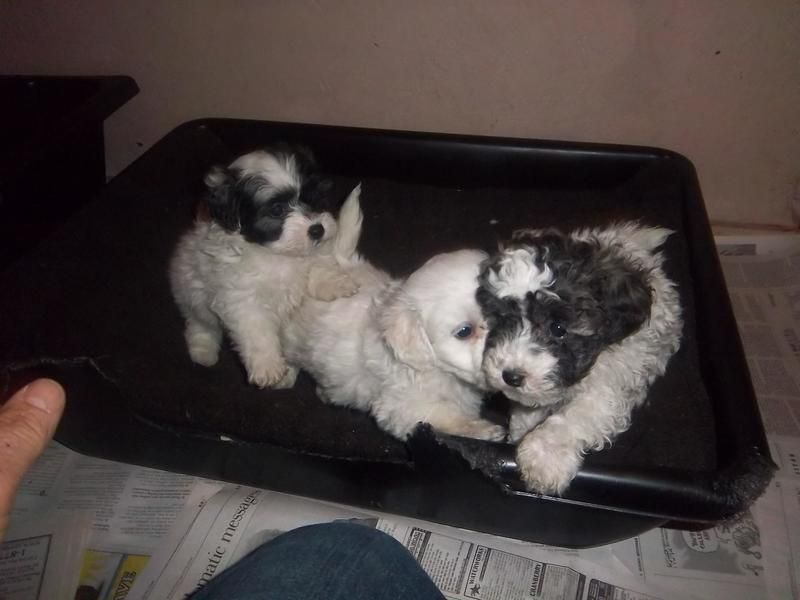 Adopt puppiesfemales on Puppies, Shih tzu, Dogs