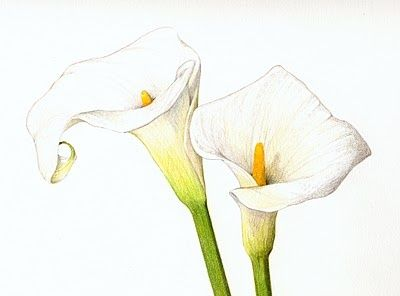 Calla Lily Pencil Drawing Sarahmelling Com Lilies Drawing Lily Painting Drawings