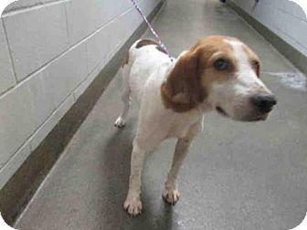 Jacksonville Fl Foxhound Mix Meet Ole Roy A Dog For Adoption