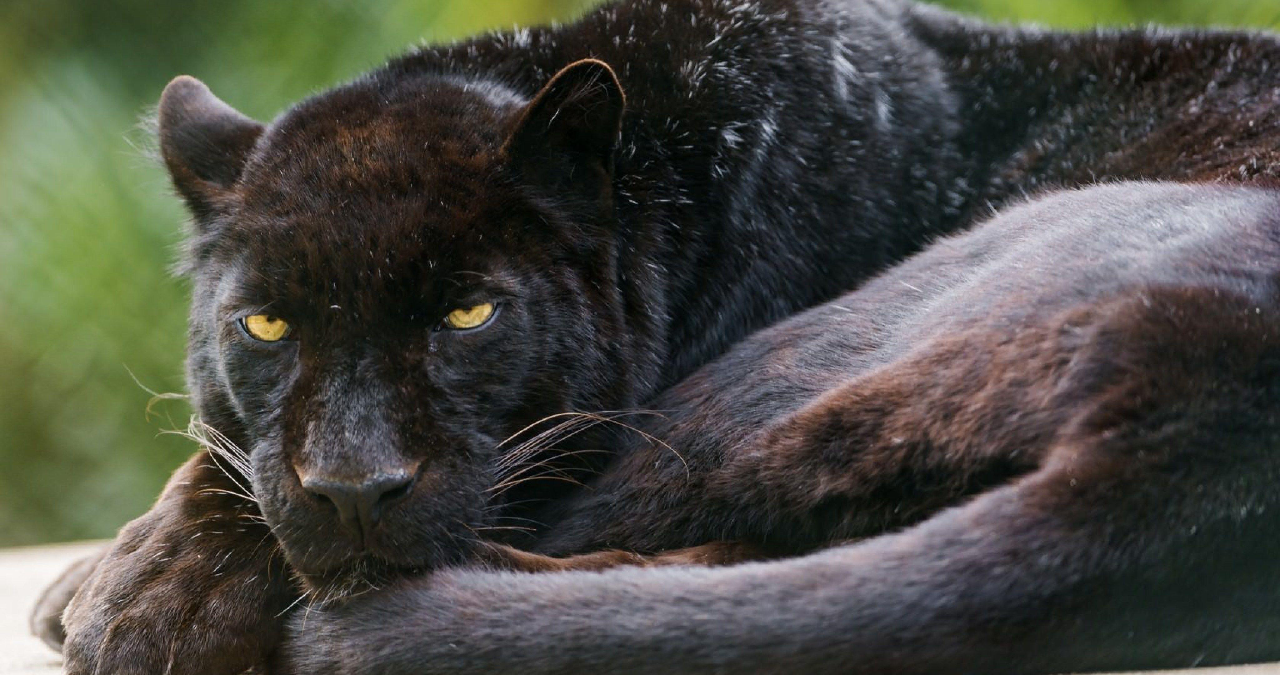 Black Wild Cat 4k Ultra Hd Wallpaper Ololoshenka Pinterest