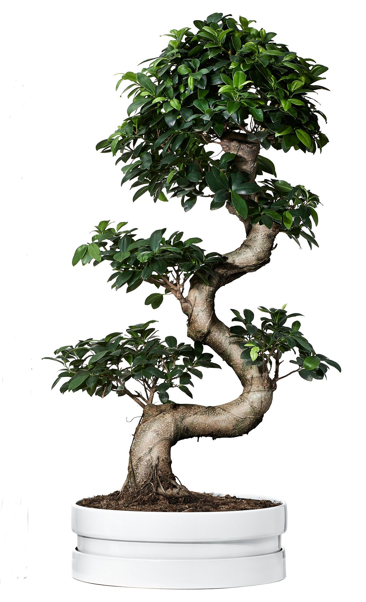 Bonsai Ficus Microcarpa Ginseng Pflege Ficus Microcarpa Ginseng Potted Plant With Pot Bonsai