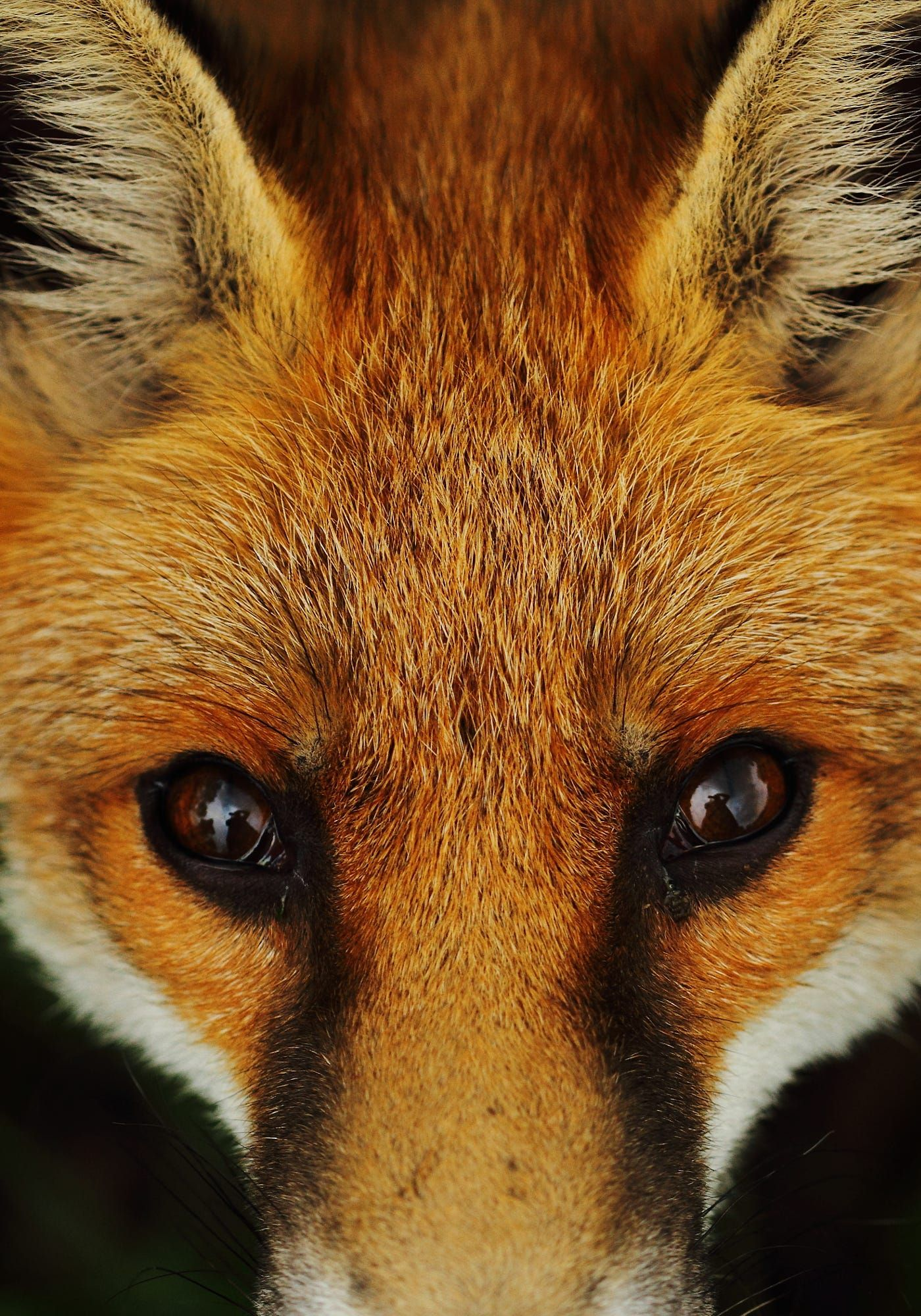 Close up of a fox face (With images) | Animal close up ...