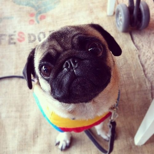 Precious Pug Second Hope Circle Helps Special Needs Pets In