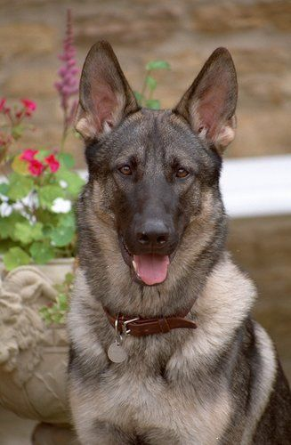 The German Shepherd Boasts A High Energy Level And Thus This Dog