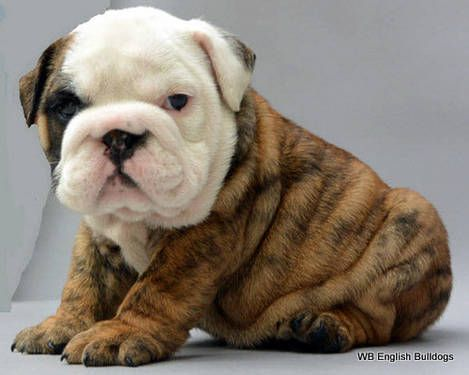 English Bulldog Puppy Benny At Dogs Trust Loughborough Has Already