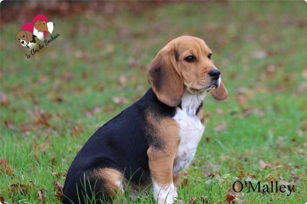 Chiot Beagle Pedigree 4 mois Un petit Beagle de 4 mois