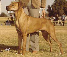 Ch Calico Ridge California Blue King Khufu Grandsire Rhodesian Ridgeback Puppies Rhodesian Ridgeback Rhodesian Ridgeback Dog