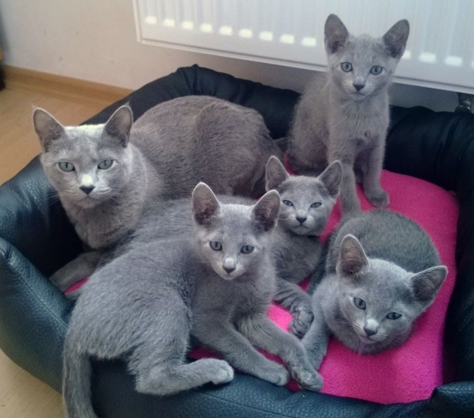 Rb Mother And Kittens As 12 Weeks Russian Blue Cat Russian Blue