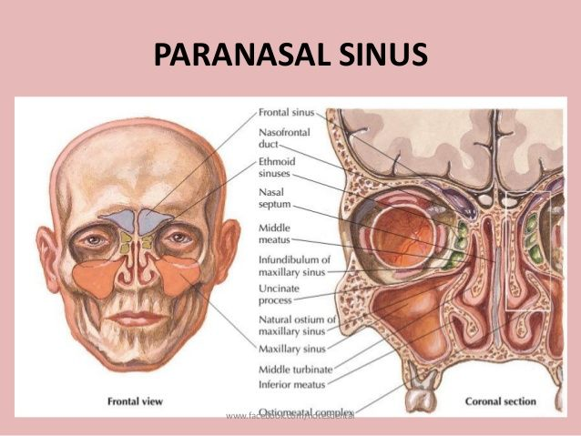 Nose-And-Paranasal-Best-Nasal-Sinus-Anatomy.jpg (638×479 ...