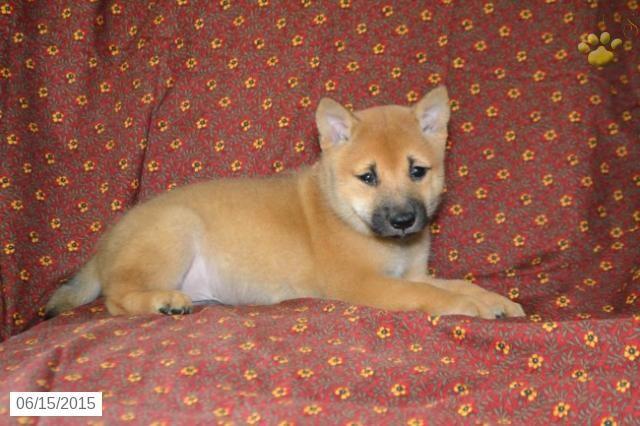 Shiba Inu Puppy For Sale In Ohio Buckeyepuppies Shiba Inu Puppies