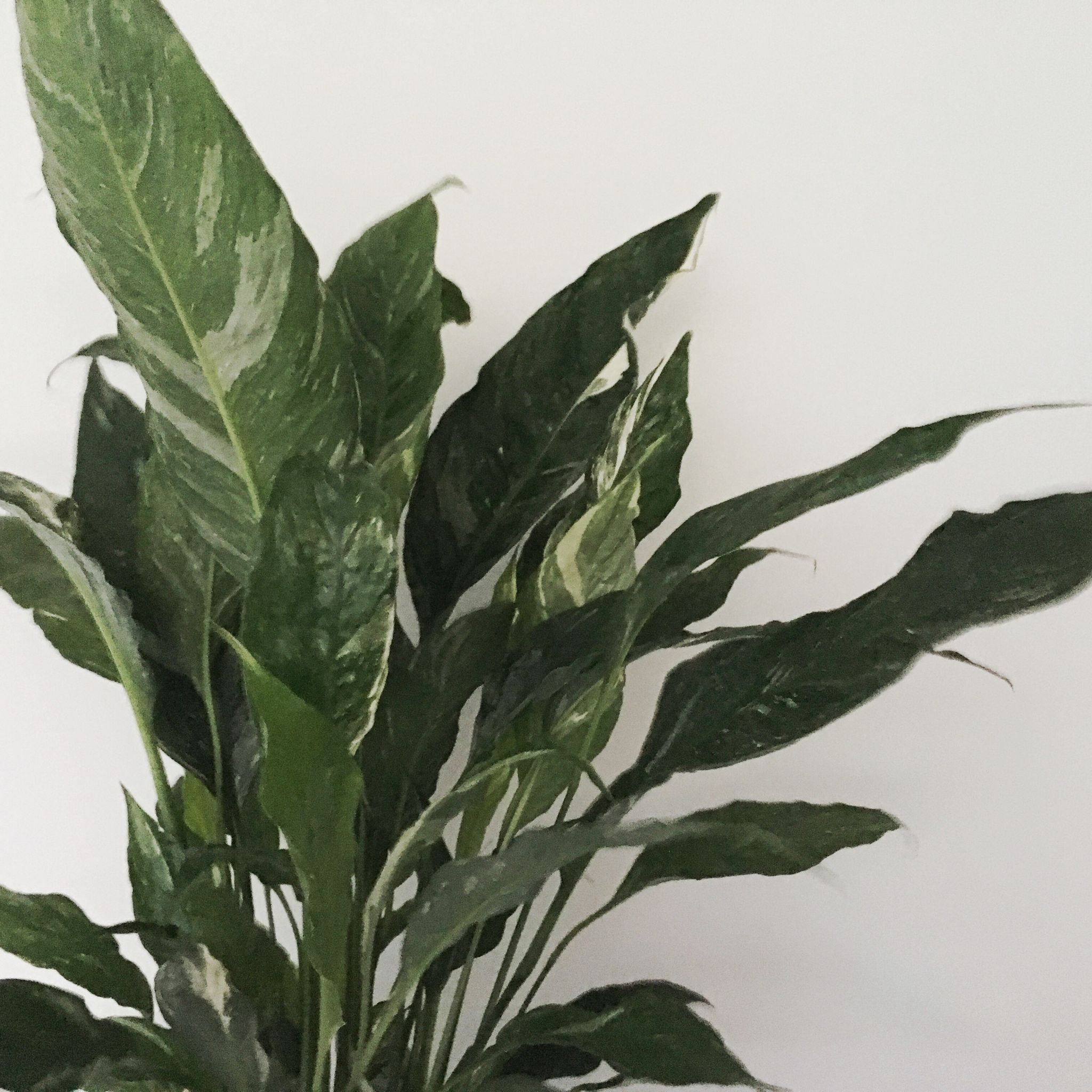 Spathiphyllum Domino Coming From The Regular Peace Lily This Variegated Cousin Has Strong Spotted White Markings