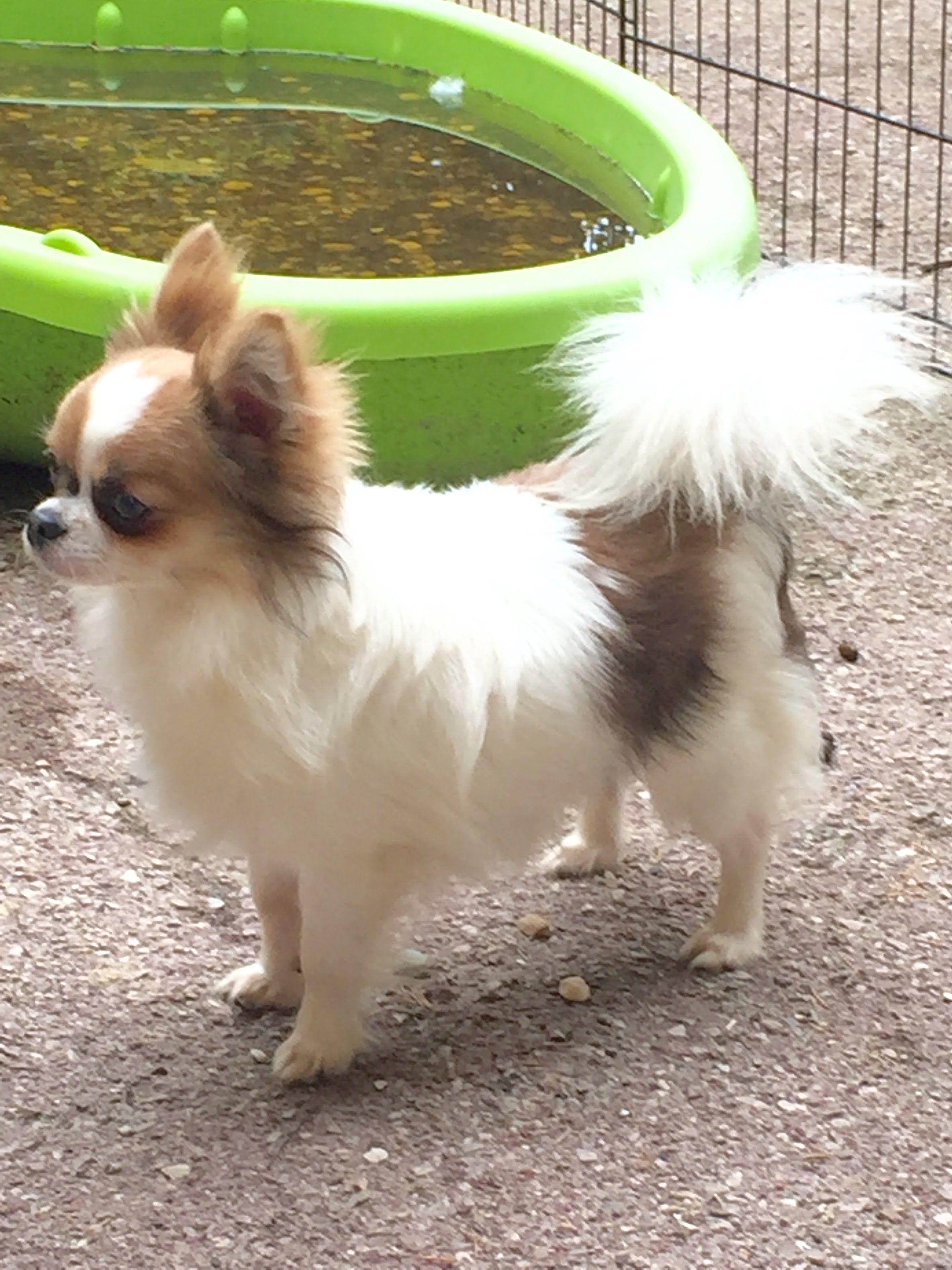 Elevage Chihuahuas Des Petits Azteques Chihuahua Poil Long Prix