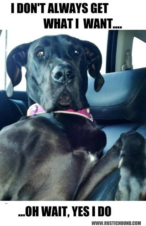 Great Dane Every Beautiful Should At Least Feel That They
