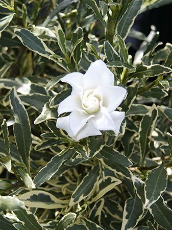Gardenia jasminoides 'Radicans Variegata' | Rinebold ...Gardenia Jasminoides Radicans Variegata