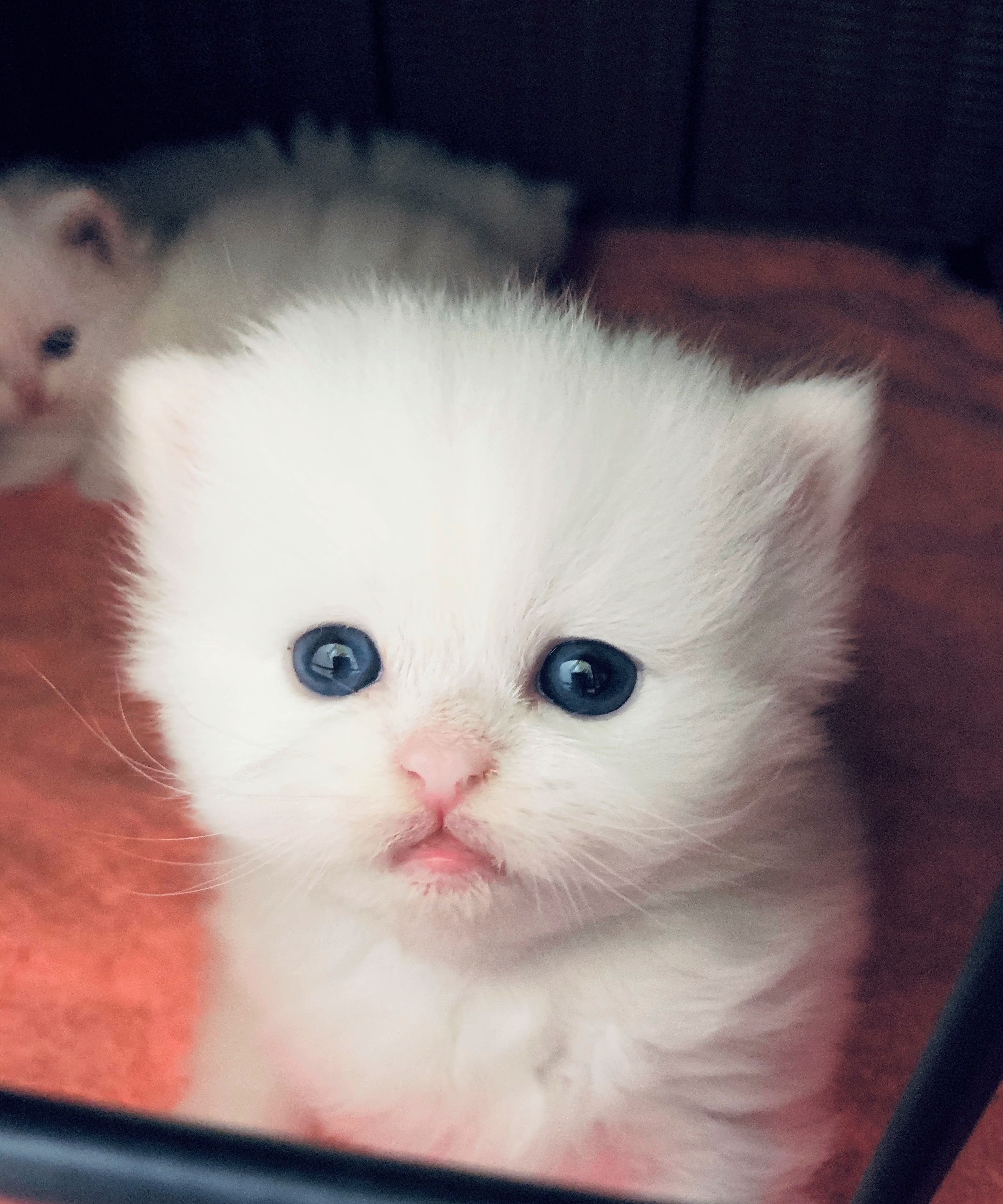 Peeking this little pure white teacup kitten is getting