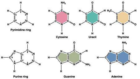 Bases Nitrogenadas Biologia Molecular Y Biología