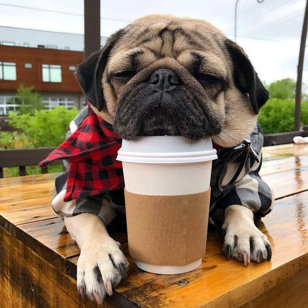 Coffee I Need Coffee Itsdougthepug Pugs Funny Baby Pugs Pugs