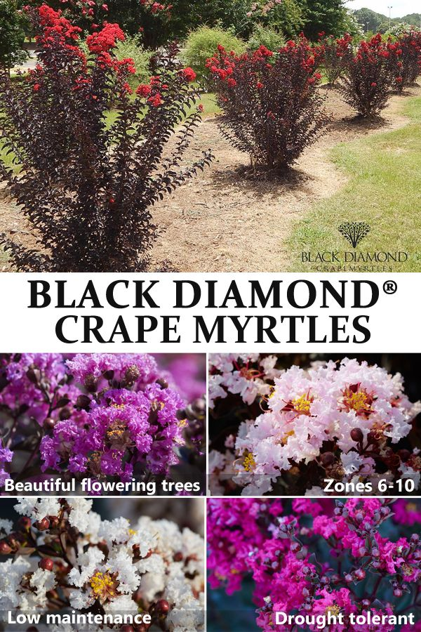 Buy Black Diamond Crape Myrtle Trees At Nature Hills Nursery And Get Them Shipped Directly To Your Door Crape Myrtle Myrtle Tree Crepe Myrtle Landscaping