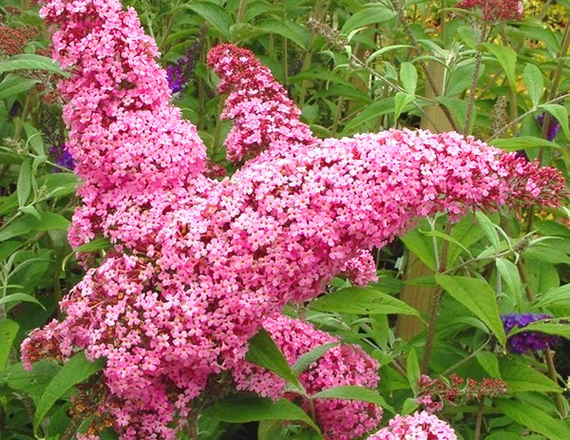 Pink Delight Butterfly Bush Long Wands Of Deep Pink Flowers On A