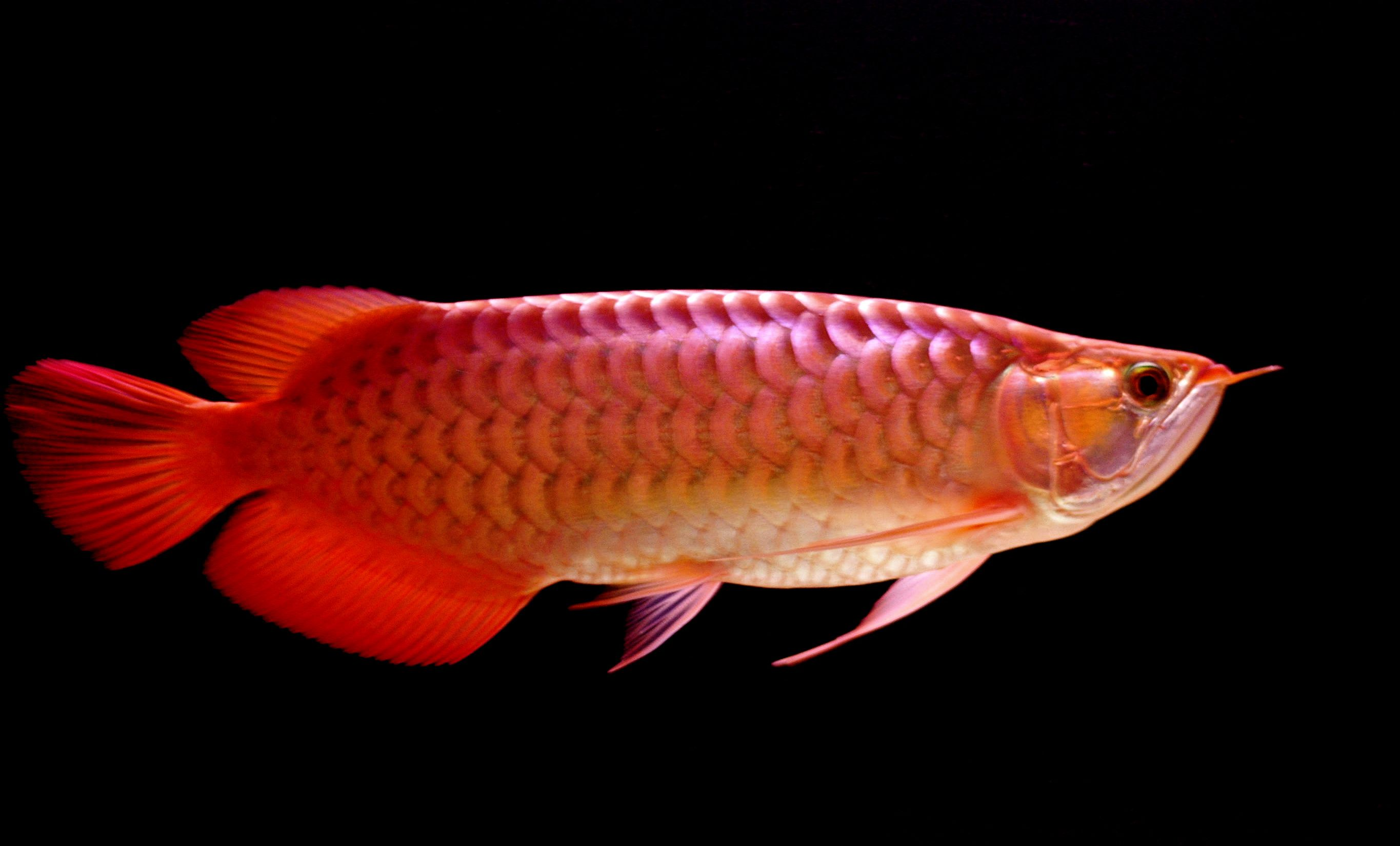 Beautiful Big Red Arowana Fish Picture HD Desktop Free