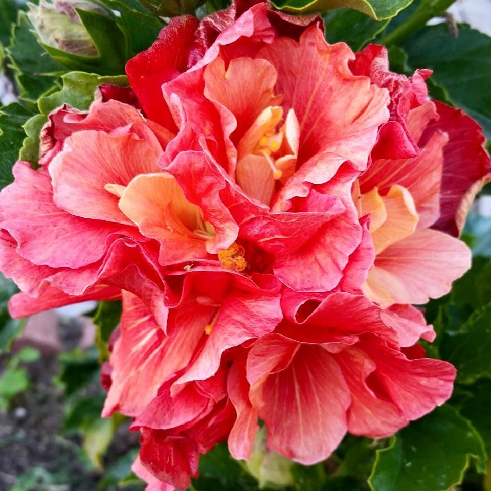 Spanish dancer hibiscus gardening with annuals pinterest spanish dancer hibiscus izmirmasajfo