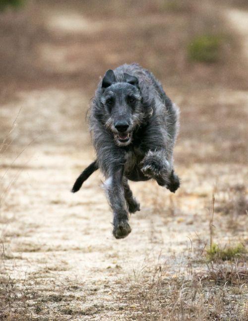 Scottish Deerhound Tumblr Deerhound Scottish Deerhound Irish Wolfhound