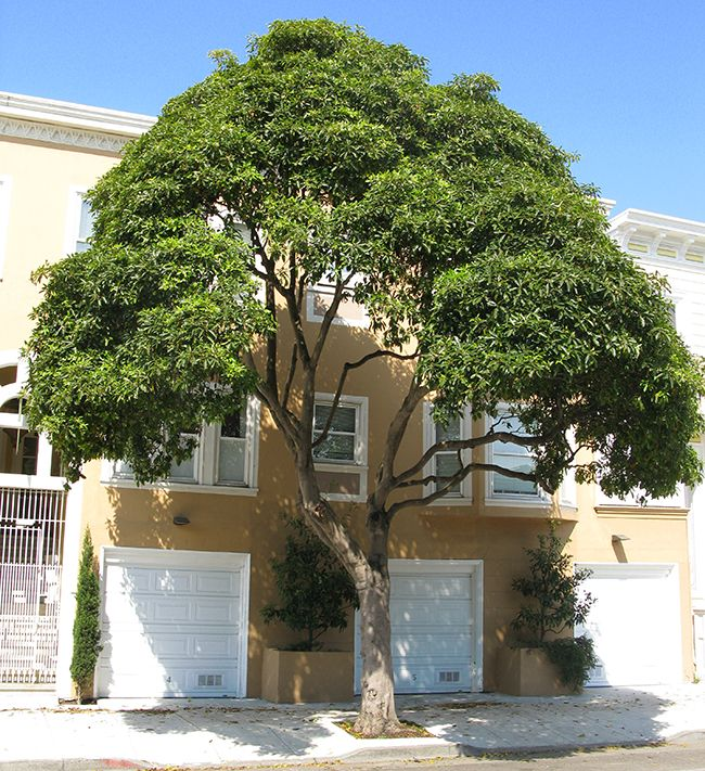 Pittosporum Undulatum Is A Tree Growing To 15m Tall With Wavy Undulating Leaf Edges It Is Sometimes Also Known Front Yard Garden Fragrant Plant Street Trees