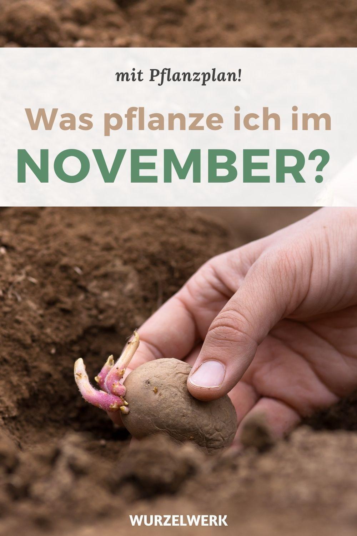 Kartoffeln im Winter pflanzen für eine super frühe Ernte! – Wurzelwerk