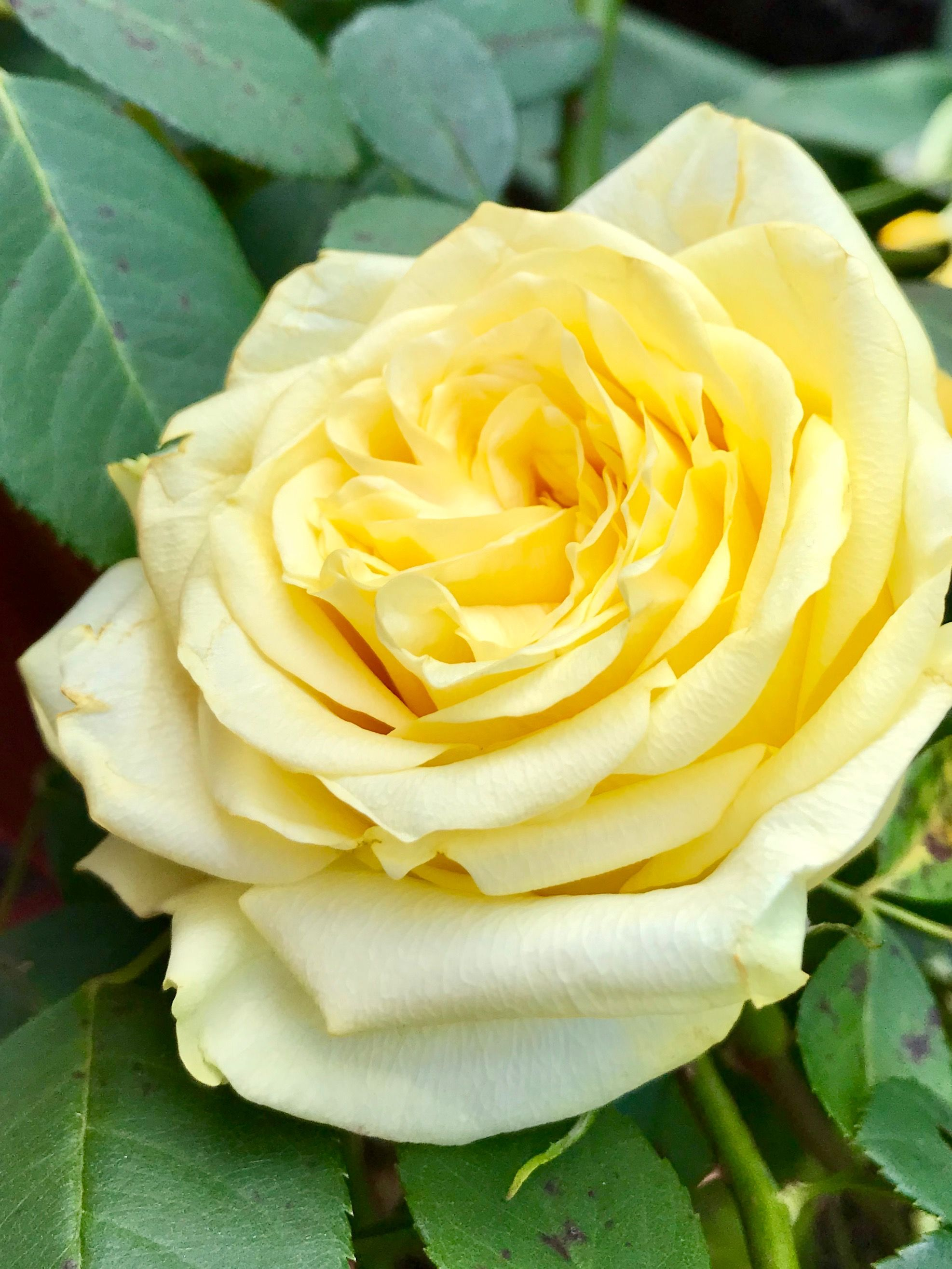 Yellow Rose Yellow Roses Beautiful Flowers Types Of Roses