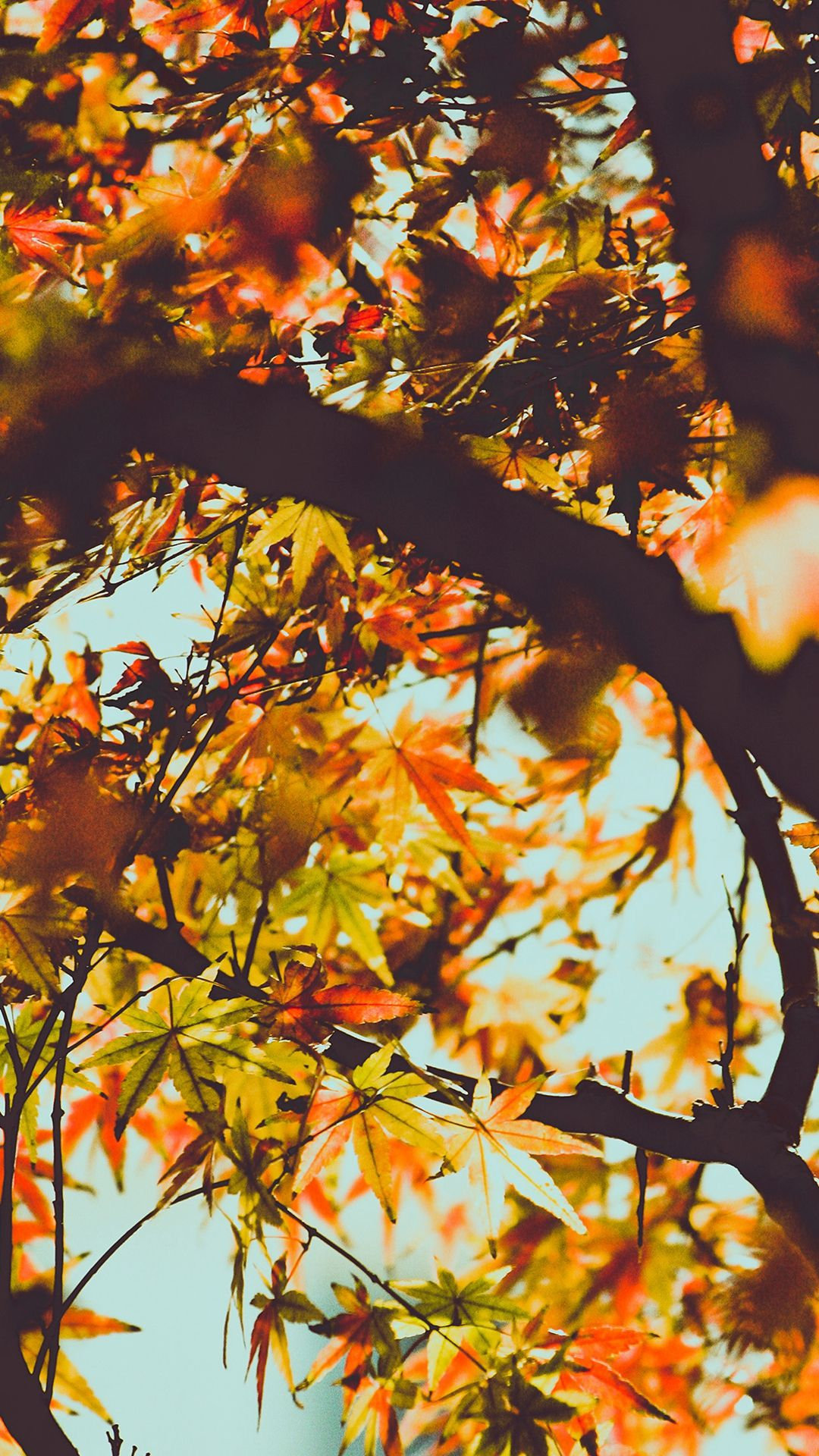 Fall Tree Leaf Autumn Nature Mountain Iphone 6 Wallpaper Fall Wallpaper Iphone Wallpaper Green Live Wallpaper Iphone