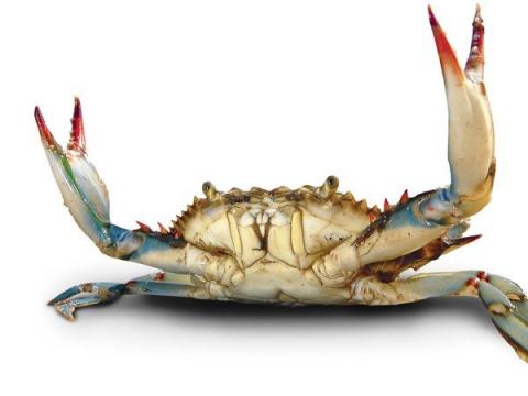 Blue Crab Fisherynation Com Blue Crab Crab Cool Art