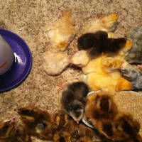 Whether you bought chicks at the feed store or from a hatchery, or hatched your own eggs in an incubator, you're going to need somewhere to keep the little chicks until they are big enough to venture outside alone.  Young birds, which are not yet feathered – those under around 6-8 weeks,