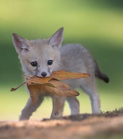 12 Babys zu süß Fuchs um wahr zu sein!