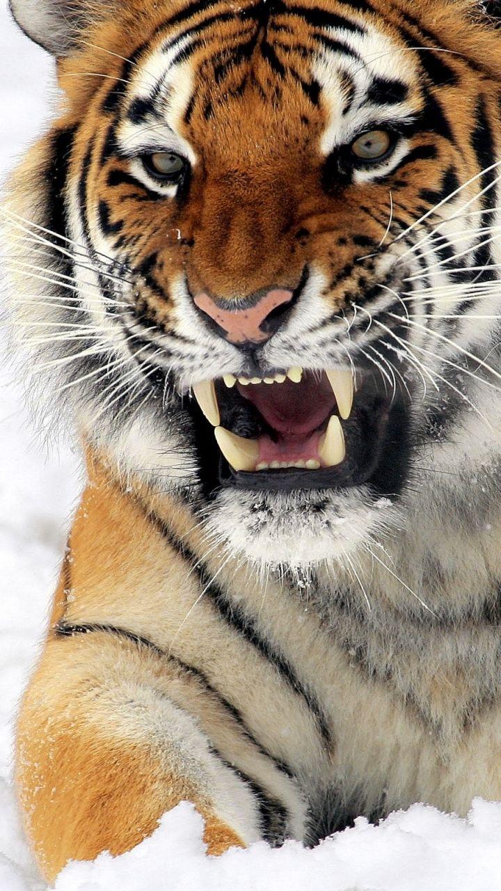 Tigers ‿ ⁀ | եᎥᎶᏋᖇՏ & ᗷᎥᎶ CᗩեՏ | Pinterest | Tigers, Hd ...
