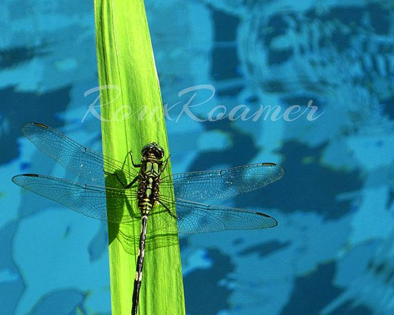 Water Landing — dragonfly on bright blue water sold by RoamingMoments