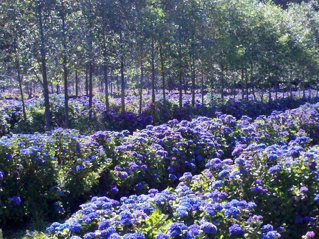 Hydrangea Fields Of Flowers Your Eyes On The Hydrangea Fields At Oregon Coastal Flowers Field Amazing Gardens Love Garden Blue Hydrangea