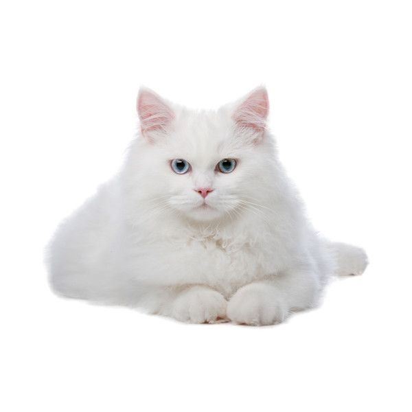 Kot5 Png White Cats White Cat Stickers Cats