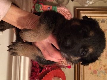 German Shepherd Dog Puppy For Sale In Lincolnton Nc Adn 28186 On