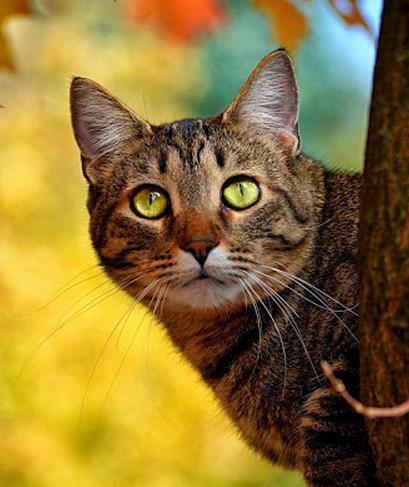 Kitty Cats Tabby Wallpaper Crazy Cat Lady Autumn Trees Stunning Eyes Beautiful Fur Babies