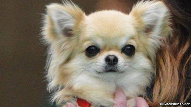 Valenchino Chihuahua Xena