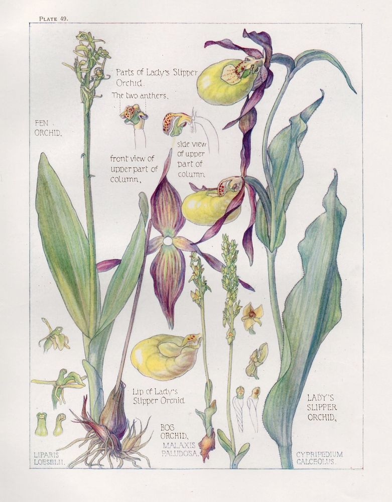 Lady\'s Slipper Orchid Botanical Print- Isabel Adams - British Wild ...