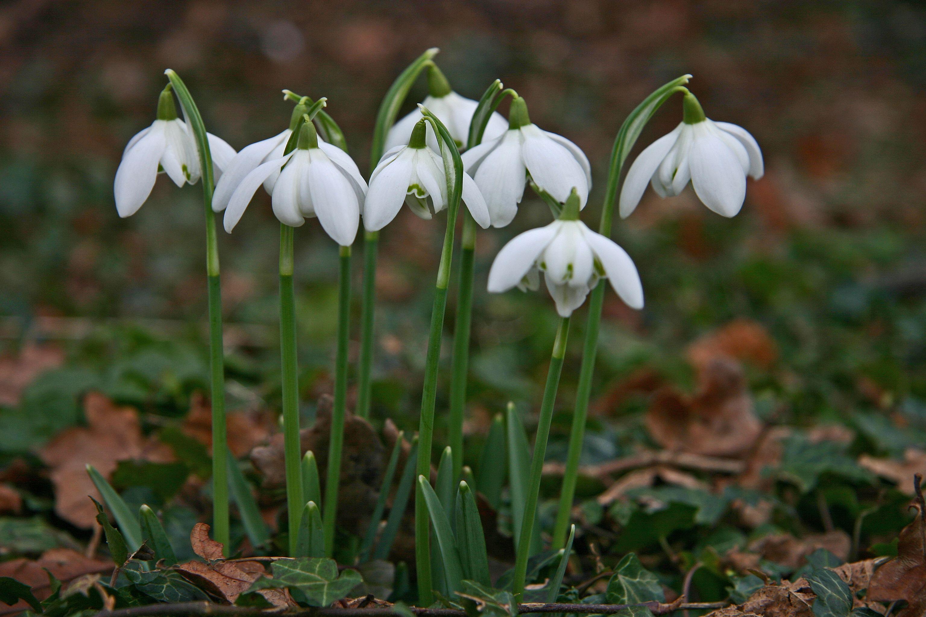 Galanthus Nivalis Wikipedia The Free Encyclopedia Plants Trees To Plant Planting Bulbs
